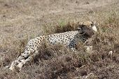 Постер, плакат: Cheetah rest