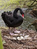picture of black swan  - A Black swan on nest with eggs - JPG