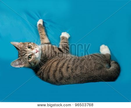 Tabby Kitten Lies On Blue