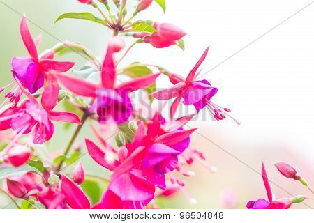 Close Up Of Fuchsia Flowers (onagraceae Salvia Splendens)