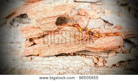 Worker And Nasute Termites On Decomposing Wood