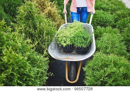 Female carting green plants in wheelbarrow