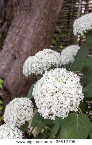 White Hydrangea flowers in the garden