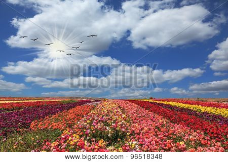 The vast field of flowers. Flowers grow stripes of different colors - red, pink, maroon and yellow. Flies over a field flock of cranes