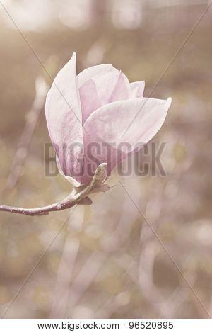 Flower Of Magnolia Tree In Spring Garden