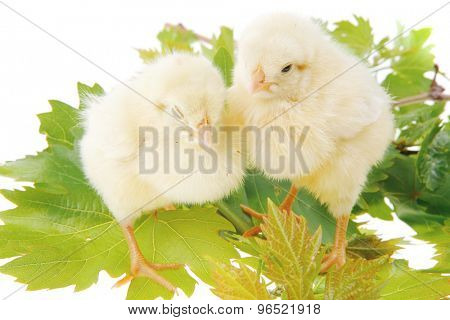 Cute little baby chicken on green leaves against white background