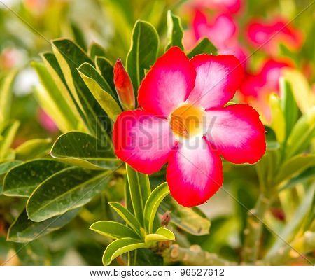 Red Adenium Flowers In Garden