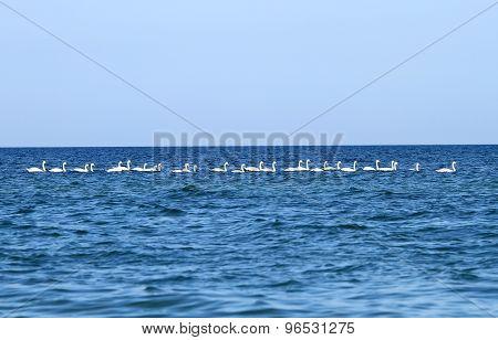 A Flock Of Swans On Black Sea
