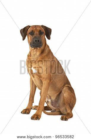 Rhodesian Ridgeback Dog Over White Background