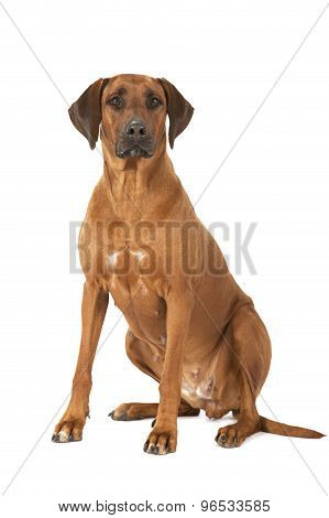 Rhodesian Ridgeback Dog Over White