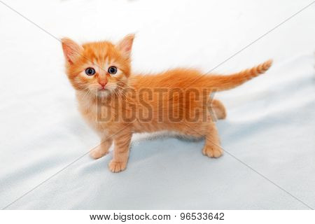 Ginger Kitten Look Of Surprise