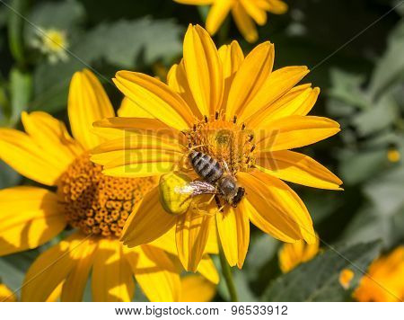 Spider Misumena Lurking On Camomile Attacked Bee