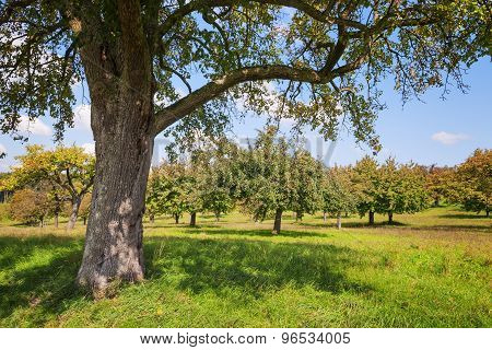 Apple Trees Lake Constance