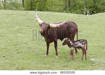 A watusi cow with huge horns standing with her spotted calf at her side.