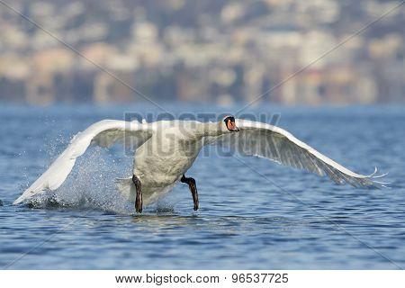 Mute swan in water