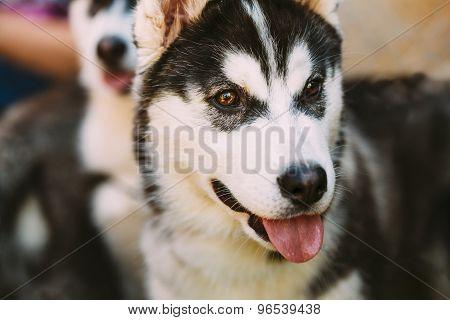Close Up Young Happy Husky Puppy Eskimo Dog