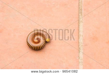 Millipede On The Cement Floor