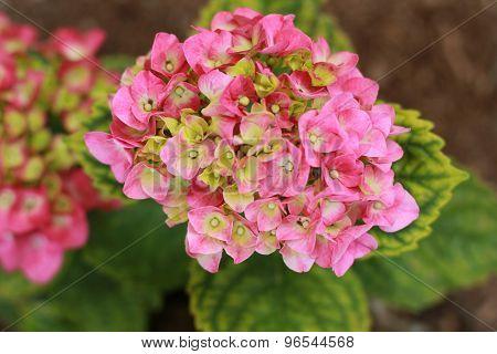 pinkish hydrangea in garden