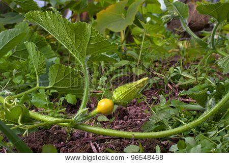 Bud Of Squash Flower In The Garden