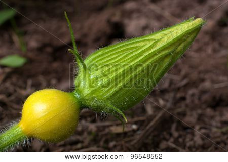 Bud Of Squash Flower, Closeup