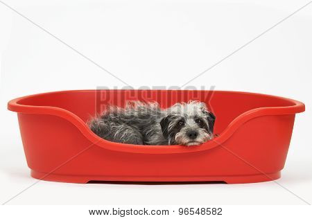 Studio Shot Of Pet Lurcher Lying In Red Dog Bed