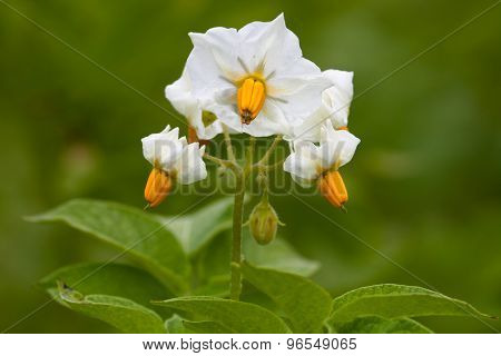 White Flowers Of Potato