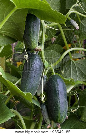 Ripe Cucumbers Hanging In The Garden