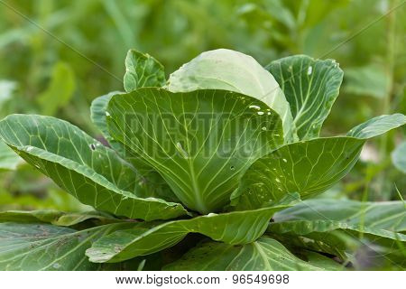 Head Of Cabbage Growing In The Garden