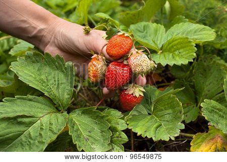 Hand With Bunch Of Strawberries