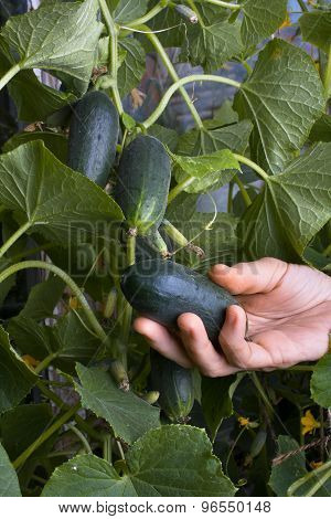 Hand Picking A Cucumber