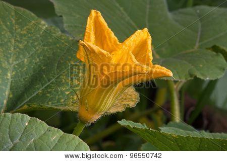 Flowering Marrow Squash