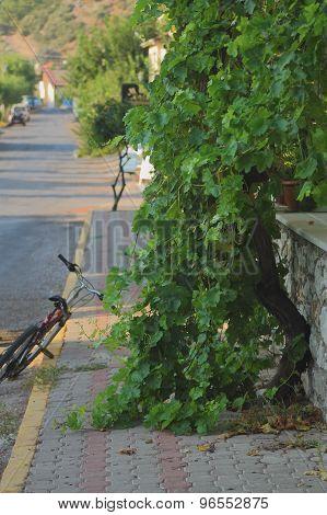 grape tree on the sidewalk