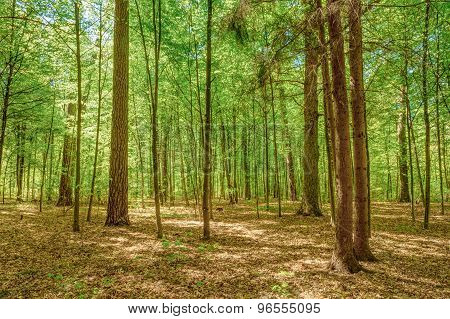 Sunlight In Deciduous Forest, Summer Nature