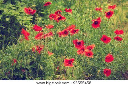 Field of red corn poppy flowers in summer