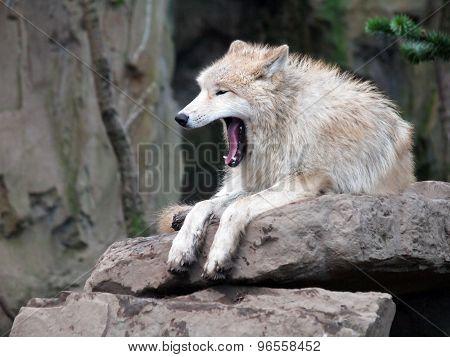 White Hudson Bay Wolf
