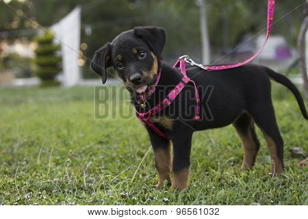 Sweet Little Cute Pink Leash Rottweiler