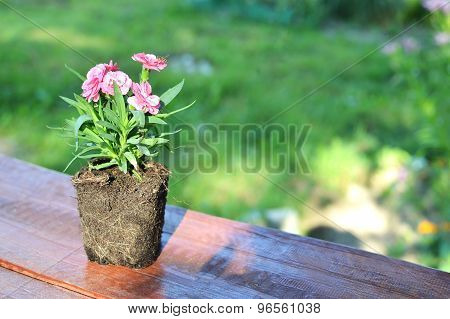 The carnation flower with naked roots taken out from a pot