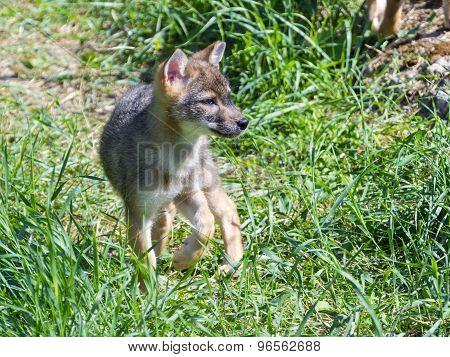 Golden Jackal (canis Aureus) Puppy