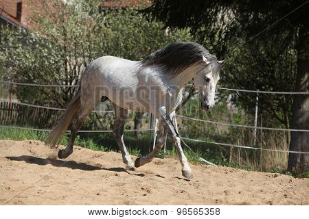 Amazign White Andalusian Stallion Moving