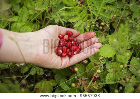 Wild strawberries in the palms against the grass background