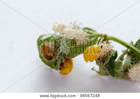 Ladybug Pupas and Empty Shells