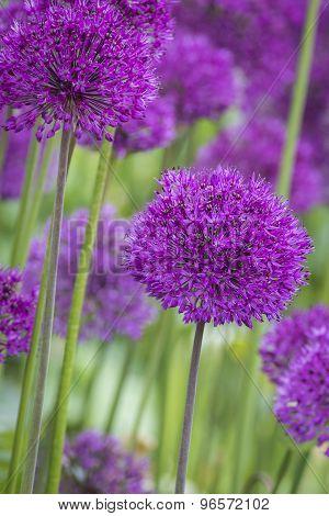 Allium (allium Giganteum)