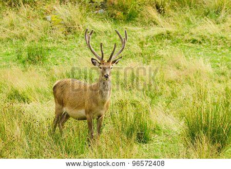 Red Deer stag alert watching