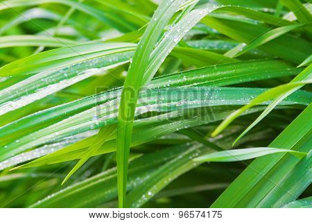 Fresh Green Grass With Drops Of Morning Dew