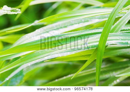 Green Grass With Drops Of Morning Dew