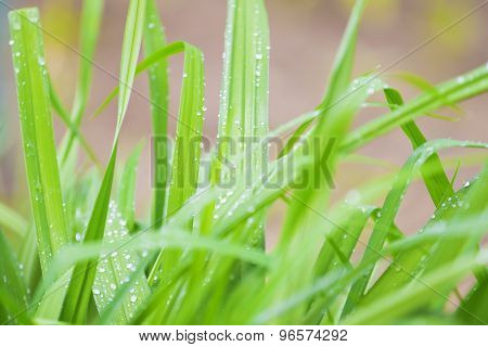 Natural Background: Green Grass With Drops