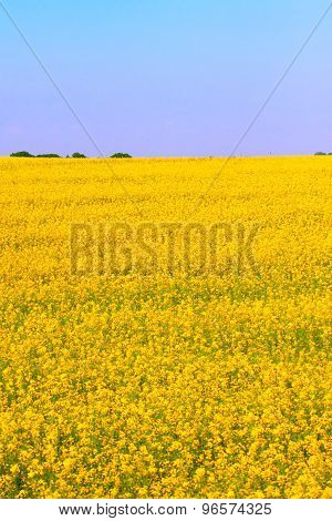 Yellow Blooming Canola Field