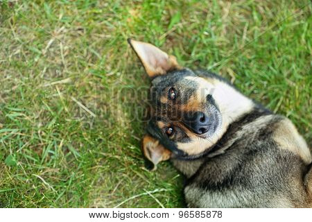 Dog lying on green grass outdoors