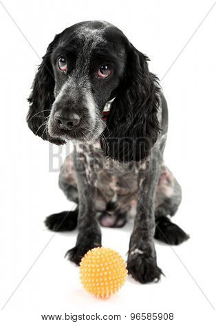 Russian spaniel with ball isolated on white