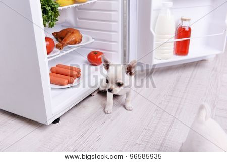 Adorable chihuahua dog near open fridge in kitchen